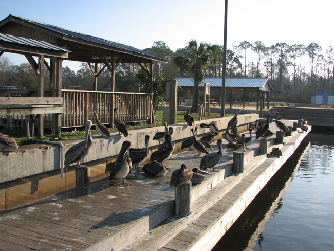 Pelicans on the dock in White City