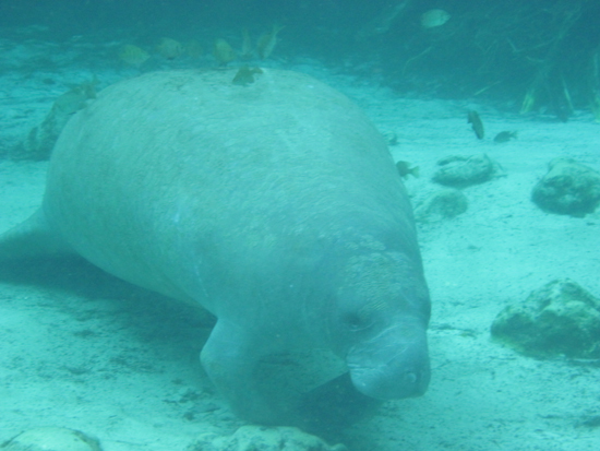 You guessed it, a manatee.