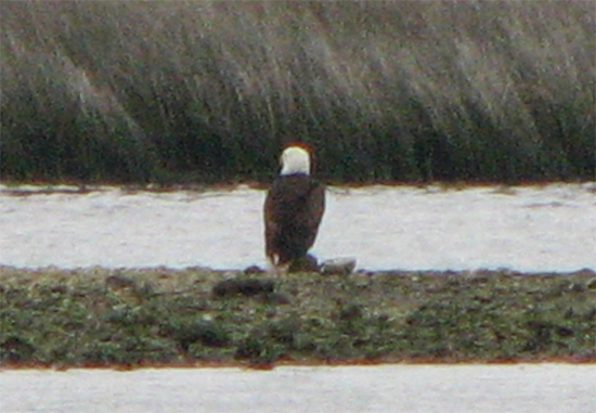 Bald Eagle sitting on the banks in St. Marks FL