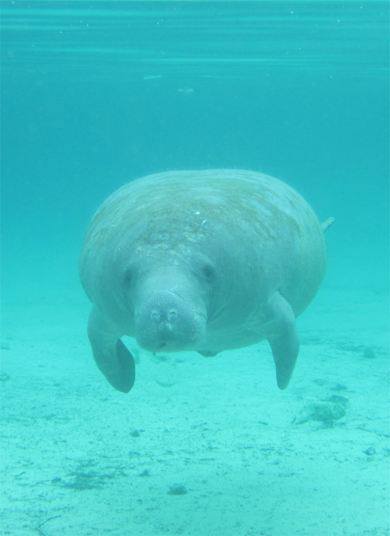 Manatee swimming towards Roxanne.