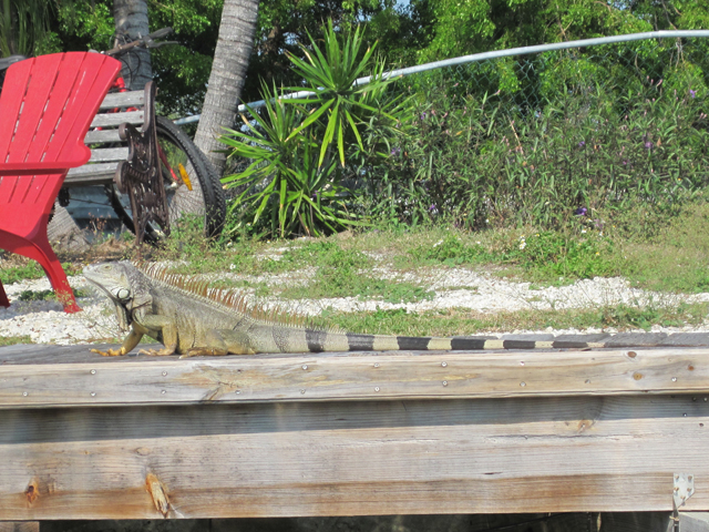 Large iguana on dock.