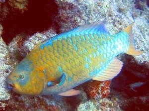 Parrtofish